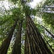Muir Woods I Poster