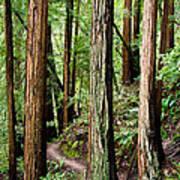 Muir Woods Poster by Niels Nielsen