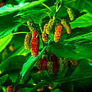 Mulberries - Fruit - Berries Poster