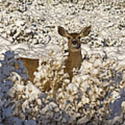 Mule Deer   #0061 Poster