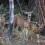 Mule Deer Doe With Fawns Poster