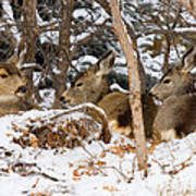 Mule Deer In Snow Poster