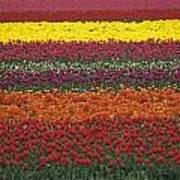 Mult-colored Tulip Field Poster