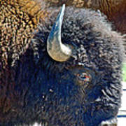 Multi-color-eyed Bison Near Wildlife Loop Road In Custer State Park-south Dakota Poster