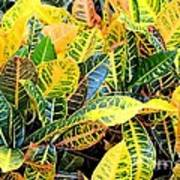 Multi-colored Croton Poster