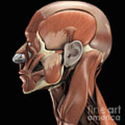 Muscles Of The Head Poster