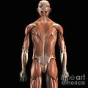 Muscles Of The Upper Body Rear Poster