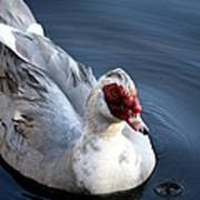 Muscovy Study 2013 Poster