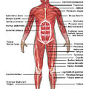 Muscular System In Male Anatomy Poster