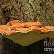 Mushroom Plate Poster