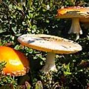 Mushroom Tops Poster