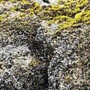 Mussels Barnacles Seaweed Closeup Poster