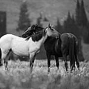 Mustangs Grooming 1 Bw Poster