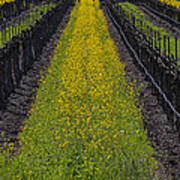 Mustard Grass In Vineyards Poster