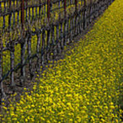 Mustrad Grass In The Vineyards Poster by Garry Gay