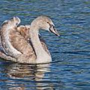 Mute Swan Cygnet Poster