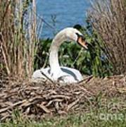 Mute Swan Nest Poster