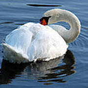 Mute Swan No. 2 Poster