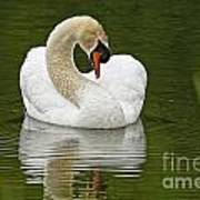 Mute Swan Pictures 191 Poster