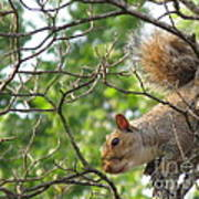 My First American Squirrel Poster