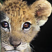 My Grandma What Big Eyes You Have African Lion Cub Wildlife Rescue Poster