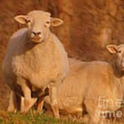 My Sheep ...   Poster