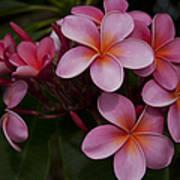 Na Lei Pua Melia O Wailua - Pink Tropical Plumeria Hawaii Poster