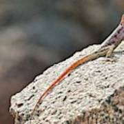 Namibian Rock Agama Poster