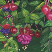 Nancy's Fuchsias Poster