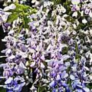 Nancys Wisteria Cropped Db Poster by Rich Franco