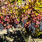 Napa Fall Grapes Poster