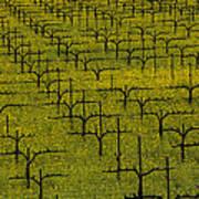 Napa Mustard Grass Poster by Garry Gay