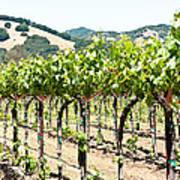 Napa Vineyard Grapes Poster by Shane Kelly
