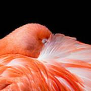 Napping Flamingo Poster