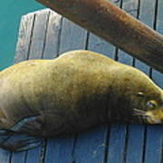 Napping Sea Lion Poster