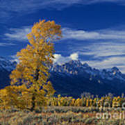 Narrowleaf Cottonwoods Fall Color Teton Poster