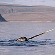 Narwhal Surfacing Baffin Isl Canada Poster