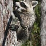Nasty Raccoon In A Tree Poster