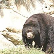 National Zoo - Bear - 12121 Poster