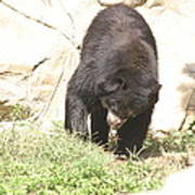 National Zoo - Bear - 12123 Poster by DC Photographer