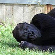 National Zoo - Gorilla - 011339 Poster