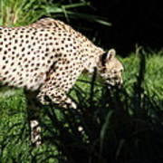 National Zoo - Leopard - 011311 Poster