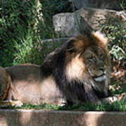 National Zoo - Lion - 011317 Poster