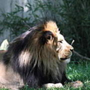 National Zoo - Lion - 011318 Poster
