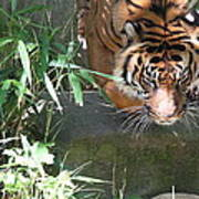 National Zoo - Tiger - 011310 Poster