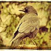 Natural Crow Poster