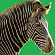 Natural Zebra Poster