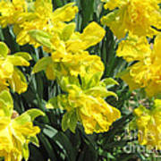 Naturalized Daffodils On The Farm Poster