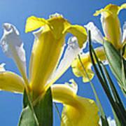 Nature Art Prints Yellow White Irises Flowers Poster