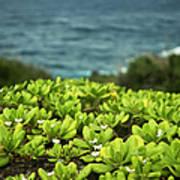Naupaka Plant Poster